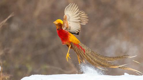 宛若精灵!看了红腹锦鸡雪地起舞这一幕,才发现古人的画是真的