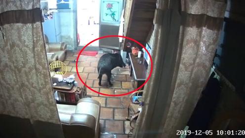 野猪突然闯进居民家中乱窜 民警开枪将其击毙