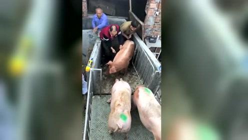 猪:不行 越想越憋屈我要出去搞他