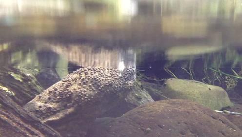 习惯夜间活动的两栖动物,外形接近日本河童