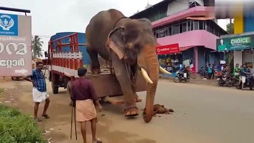 大象下卡车的方式好可爱,先用鼻子量过高度后才迈开象腿,哈哈