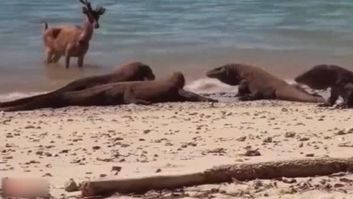 科莫多巨蜥捕食麋鹿,咬上一口后,就呆在岸边静静等待猎物死亡