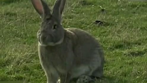 英国家庭养出体长超1.3米的兔子,它的对手是体长超1米的儿子