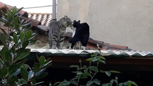 """两只猫""""打架"""",酝酿情绪后立马""""开打"""