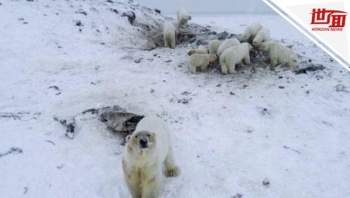 56头饥饿北极熊围困村庄 村民送孩子上学胆战心惊