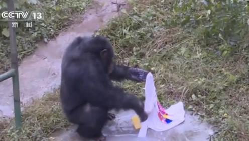 无师自通,这只爱洗衣服的猩猩走红!