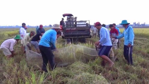 正在收割的水稻里面有野味,村民一窝蜂的扑上去抓捕,收获喜人!