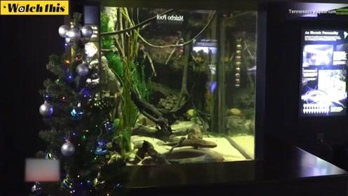 别出心裁 美国田纳西州水族馆用电鳗放电点亮圣诞树