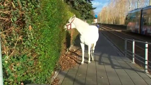 白马独自散步,一走就是14年,当地人表示天天可以见到它