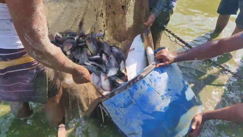 印度村民集体拉网捕鱼,仅用一张大渔网,结果收获一大桶野货!