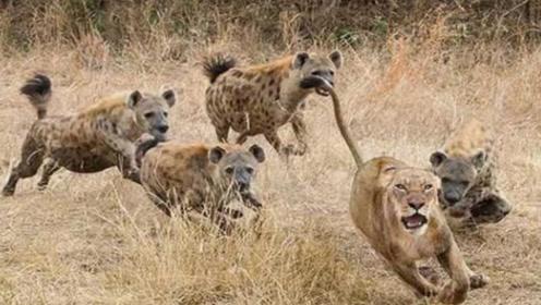 冤家路窄!落单母狮遭到鬣狗群欺负!