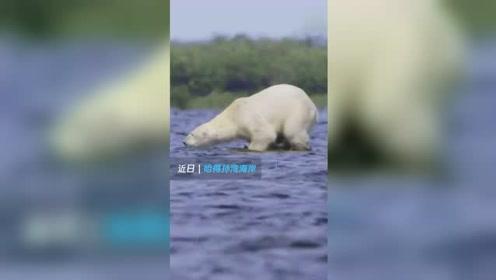 极为罕见!北极熊捕杀白鲸 一口咬住后脑使其当场毙命