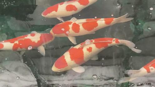 土豪家的锦鲤池,硕大的红色锦鲤正在嬉戏玩乐,让人看着根本不想走