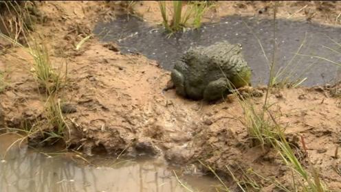 小蝌蚪马上就要被干死,看看牛蛙妈妈是如何机智的拯救孩子!