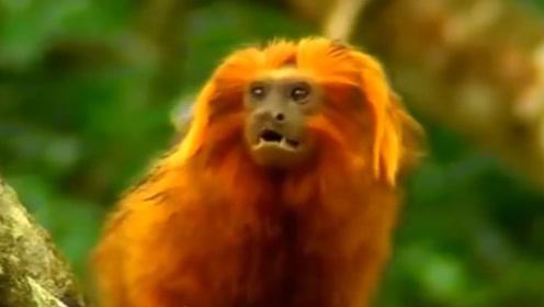 没有猴王的猴群是种落后的制度?在金丝猴群中恰恰相反