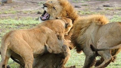5只雄狮围攻另一只流浪雄狮,流浪雄狮苦不堪言,镜头拍下全过程