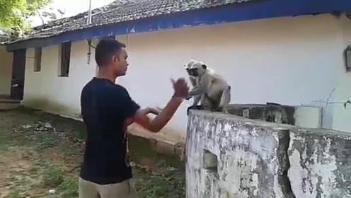 """国外猴子嚣张至极,耳光一响开始反击,一巴掌将猴子""""拍翻"""""""