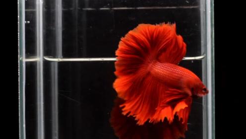世上最美的观赏鱼,尾鳍像新娘的婚纱,难怪苹果手机都用它做屏保