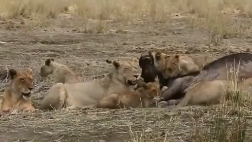 狮子进食是有规矩的,你知道吗?网友:你品,你细品!