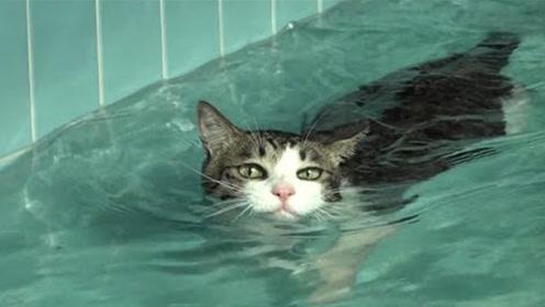 猫咪洗澡都不愿意,更别说游泳,其实喵星人是全能健将