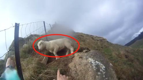 一只羊被困在山坡上,男子将其救下后,下一幕忍住不要笑