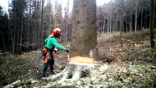 看看专业工人砍伐大树,这方式一般人还真没见过