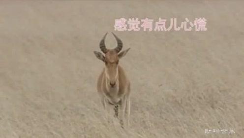 野鹿吃草感到不对劲,转身就要逃跑,谁料狮子神预感只等投怀送抱!