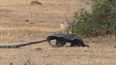 激烈!大蟒蛇捕食蜜獾被2头胡狼攻击 蜜獾趁机一招反杀 惊呆游客