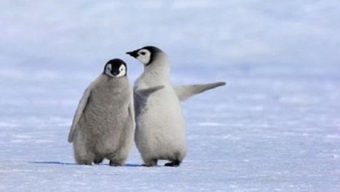 企鹅真的不怕冷吗?看完涨知识了