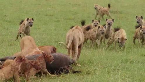 看到狮王在场,鬣狗群根本不敢轻举妄动,只能在旁边看着美食流口水