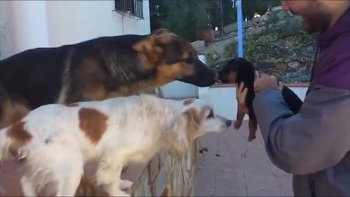 """狗子们的周末聚会,大狗狗对一只小奶狗特别""""凶"""",网友:惹不起"""