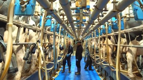 乳品农场体验挤奶!这会改变你对乳制品的看法吗?