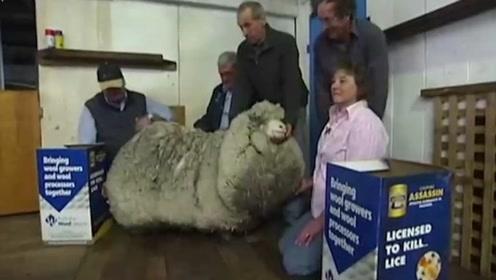国外一只绵羊身上的羊毛重达54斤,至少可以制作40件羽绒服