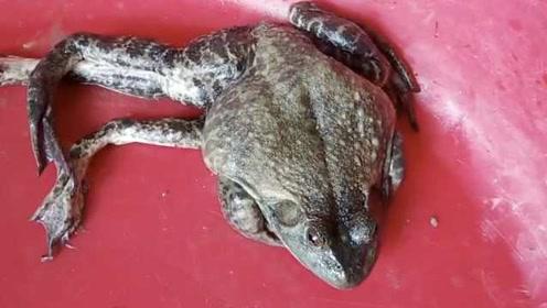 2条腿的男人满街是?厨师发现六条腿牛蛙:花钱买回来放生