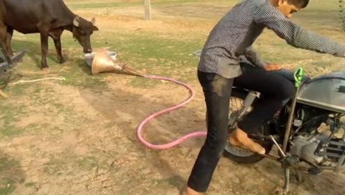在摩托车排气管接上喇叭吓唬公牛,镜头拍下搞笑画面!牛:主人太缺德!