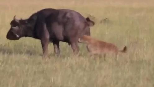 鬣狗从背后咬碎野牛下体,顿时野牛的惨痛叫声响遍了草原