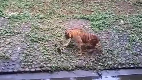 猫咪掉进老虎园区,当老虎走过来之后,整个过程都充满了欢笑