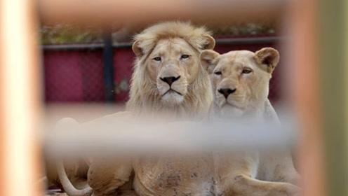 饲养员将手伸进栅栏给雄狮喂肉,狮子突然跳起来将其手臂咬住40秒