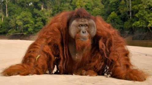 红毛猩猩到底有多聪明?科学家拍下罕见画面,网友:厉害了!
