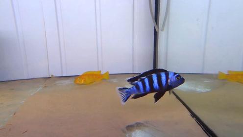 慈鲷鱼恋爱了,舞跳得很积极!
