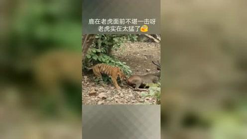 老虎捕猎太猛了,确实有实力