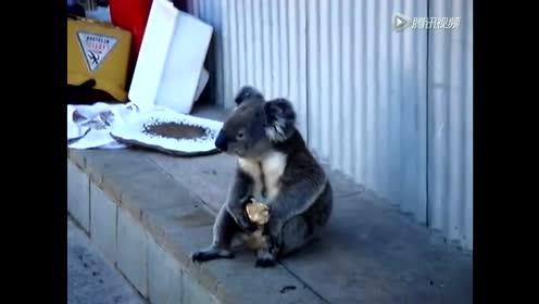 一只坐在地上吃苹果的卡拉!真!爷!们!