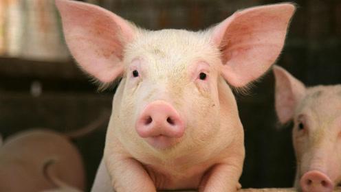 猪的智商在所有动物里排第四,训练后会操作简易电脑
