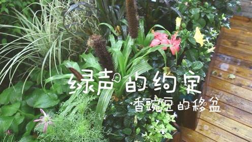 绿声的约定2-香豌豆的移盆