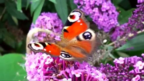 """自然界的""""伪装者""""孔雀蛱蝶趣事,颠覆你的想象力"""