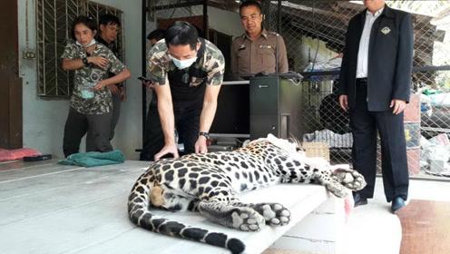 泰国女子遛豹子吓坏邻居 称豹子做了手术需要运动
