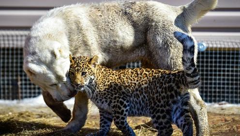 俄罗斯动物园一狗妈哺育豹宝宝 超萌豹仔向狗妈撒娇