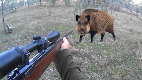 外国森林野猪泛滥成灾,猎人狩猎大野猪过程,让人大开眼界!