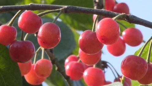 湖南本地樱桃熟了!美女摘下来就吃