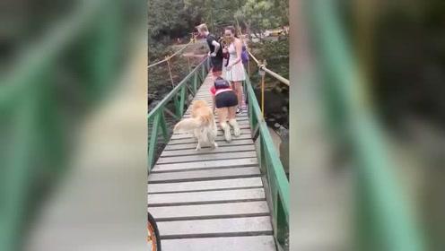 黄金犬有恐高症不敢过桥 暖心主人双膝一跪:我陪你